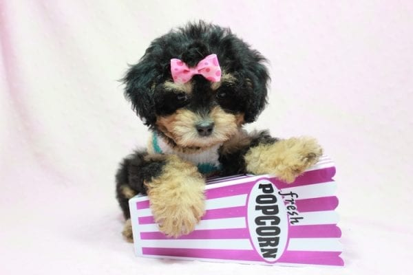 Lovely - Toy Yorkie Poo Puppy In L.A Found A New loving Home With Maya From Thousand Oaks CA-11503