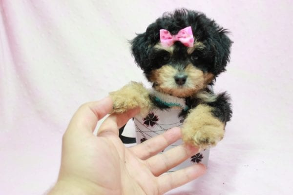 Lovely - Toy Yorkie Poo Puppy In L.A Found A New loving Home With Maya From Thousand Oaks CA-11504