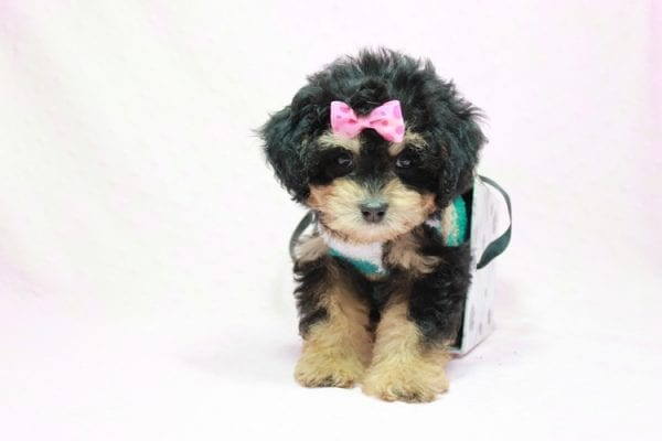 Lovely - Toy Yorkie Poo Puppy In L.A Found A New loving Home With Maya From Thousand Oaks CA-11499