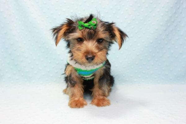 Marlin - Toy Yorkie Puppy In L.A Found A New Loving Home With Diane From Camarillo CA 93012 -11430
