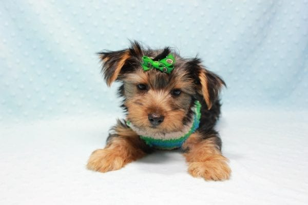 Marlin - Toy Yorkie Puppy In L.A Found A New Loving Home With Diane From Camarillo CA 93012 -11429