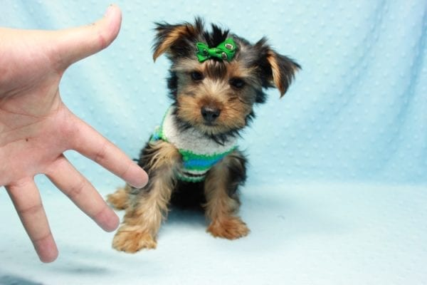 Marlin - Toy Yorkie Puppy In L.A Found A New Loving Home With Diane From Camarillo CA 93012 -11431