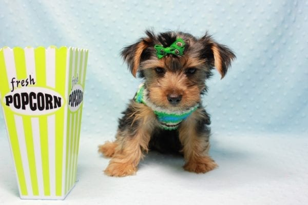 Marlin - Toy Yorkie Puppy In L.A Found A New Loving Home With Diane From Camarillo CA 93012 -0