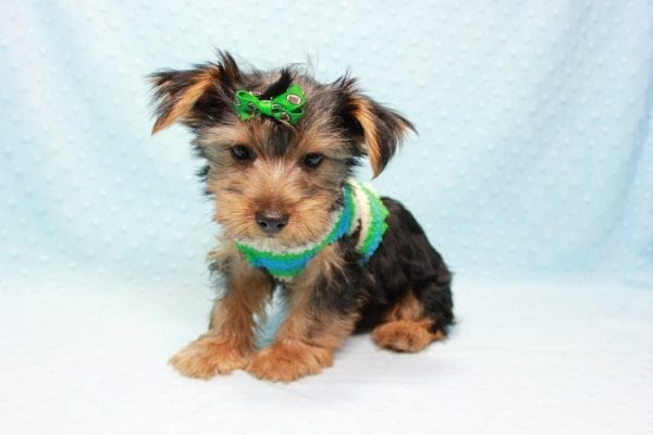 Marlin - Toy Yorkie Puppy In L.A Found A New Loving Home With Diane From Camarillo CA 93012 -11433