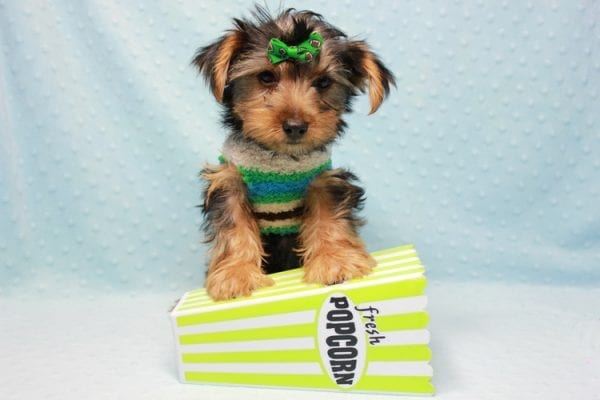 Marlin - Toy Yorkie Puppy In L.A Found A New Loving Home With Diane From Camarillo CA 93012 -11428