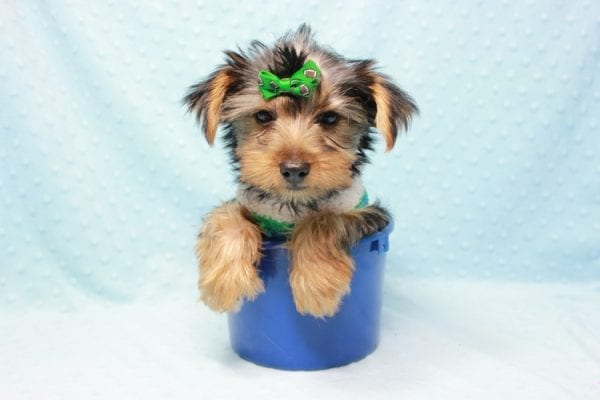 Marlin - Toy Yorkie Puppy In L.A Found A New Loving Home With Diane From Camarillo CA 93012 -11434