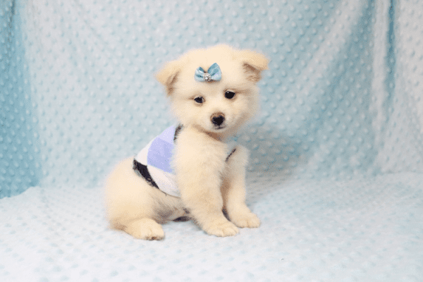 Marshmallow - Teacup Pomtese Puppy has found a good loving home with Stephen from New York, NY 10023-11831