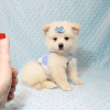 Marshmallow - Teacup Pomtese Puppy has found a good loving home with Stephen from New York, NY 10023-11828