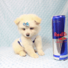 Marshmallow - Teacup Pomtese Puppy has found a good loving home with Stephen from New York, NY 10023-0