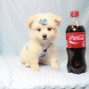 Marshmallow - Teacup Pomtese Puppy has found a good loving home with Stephen from New York, NY 10023-11832