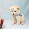 Marshmallow - Teacup Pomtese Puppy has found a good loving home with Stephen from New York, NY 10023-11829
