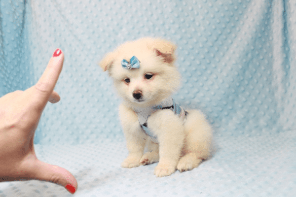 Marshmallow - Teacup Pomtese Puppy has found a good loving home with Stephen from New York, NY 10023-11836