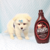 Marshmallow - Teacup Pomtese Puppy has found a good loving home with Stephen from New York, NY 10023-11833