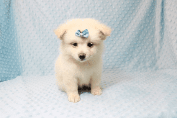 Marshmallow - Teacup Pomtese Puppy has found a good loving home with Stephen from New York, NY 10023-11834