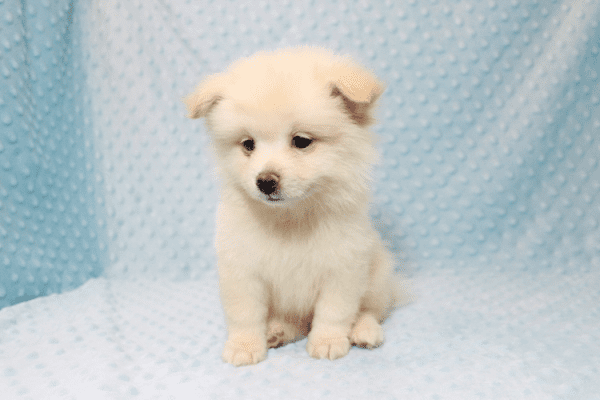 Marshmallow - Teacup Pomtese Puppy has found a good loving home with Stephen from New York, NY 10023-11830