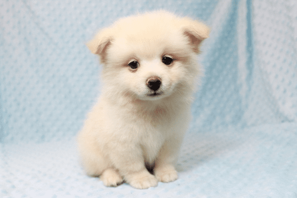 Marshmallow - Teacup Pomtese Puppy has found a good loving home with Stephen from New York, NY 10023-11827