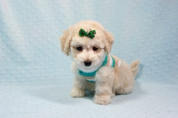 Martin - Toy Maltipoo Puppy In L.A Found A New Loving Home -11551
