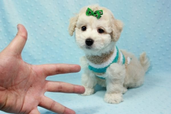 Martin - Toy Maltipoo Puppy In L.A Found A New Loving Home -11546