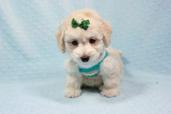Martin - Toy Maltipoo Puppy In L.A Found A New Loving Home -11545