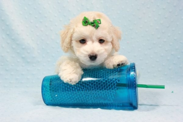 Martin - Toy Maltipoo Puppy In L.A Found A New Loving Home -11550