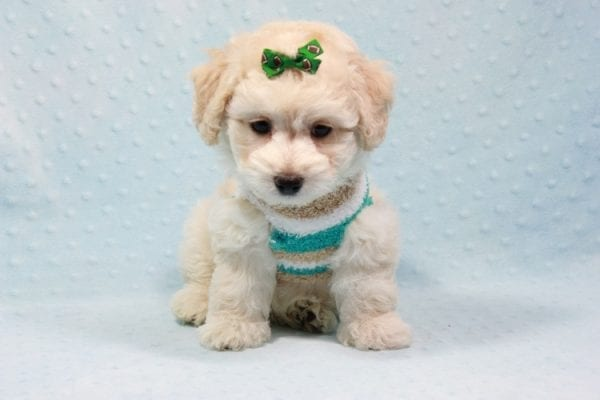 Martin - Toy Maltipoo Puppy In L.A Found A New Loving Home -11549