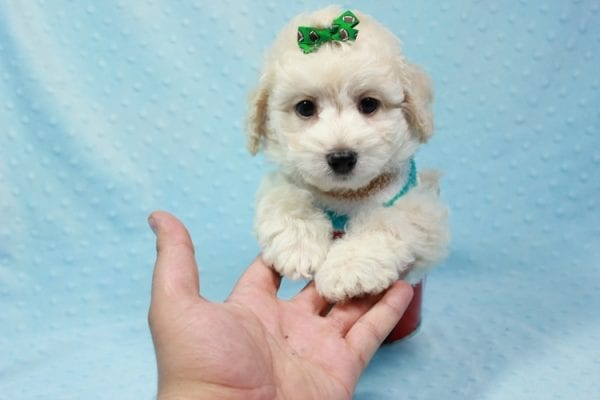 Martin - Toy Maltipoo Puppy In L.A Found A New Loving Home -11552
