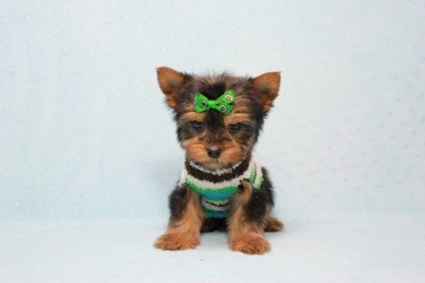 Max - Yorkie puppy Has Found A Loving Home With Antonia In Las Vegas, NV!-11372