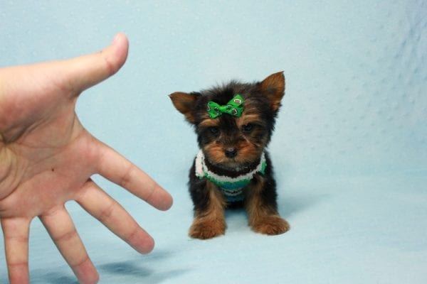 Max - Yorkie puppy Has Found A Loving Home With Antonia In Las Vegas, NV!-11369