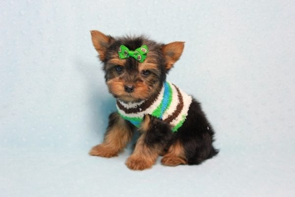Max - Yorkie puppy Has Found A Loving Home With Antonia In Las Vegas, NV!-11366