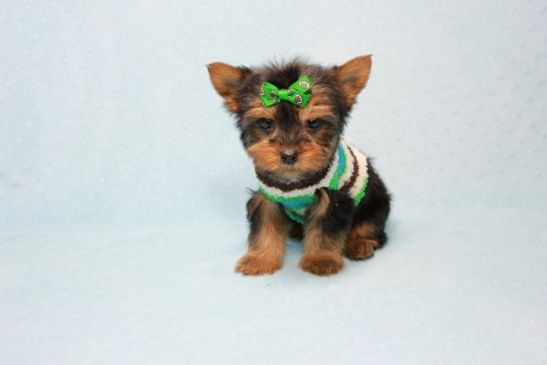Max - Yorkie puppy Has Found A Loving Home With Antonia In Las Vegas, NV!-11370