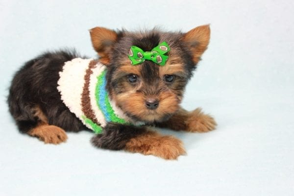 Max - Yorkie puppy Has Found A Loving Home With Antonia In Las Vegas, NV!-11363