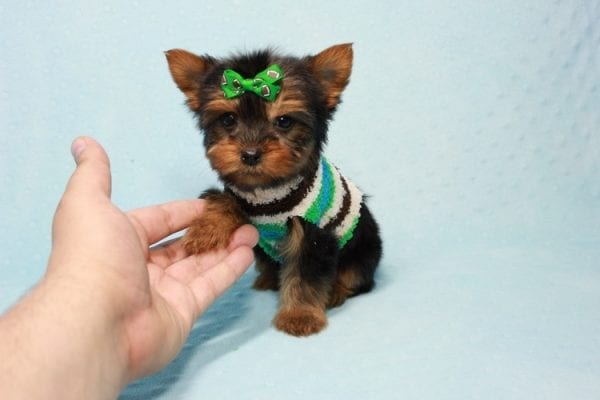 Max - Yorkie puppy Has Found A Loving Home With Antonia In Las Vegas, NV!-11360