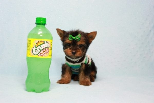 Max - Yorkie puppy Has Found A Loving Home With Antonia In Las Vegas, NV!-11362