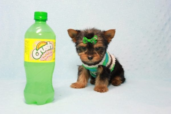 Max - Yorkie puppy Has Found A Loving Home With Antonia In Las Vegas, NV!-0