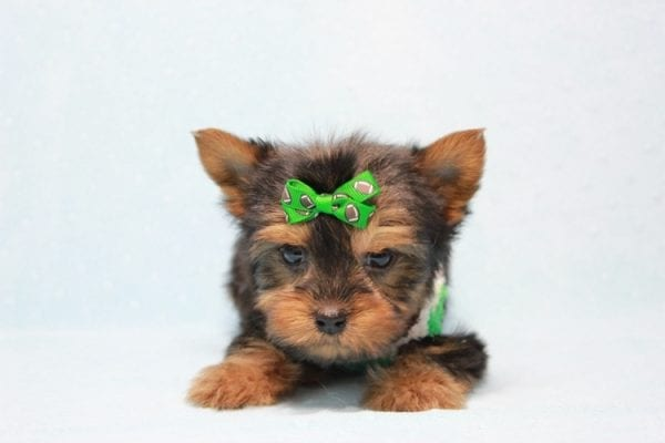 Max - Yorkie puppy Has Found A Loving Home With Antonia In Las Vegas, NV!-11358