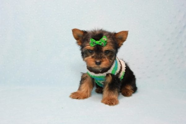 Max - Yorkie puppy Has Found A Loving Home With Antonia In Las Vegas, NV!-11371
