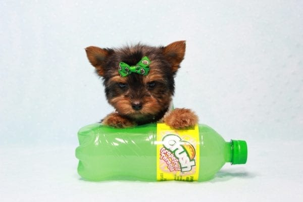 Max - Yorkie puppy Has Found A Loving Home With Antonia In Las Vegas, NV!-11364