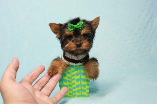 Max - Yorkie puppy Has Found A Loving Home With Antonia In Las Vegas, NV!-11361