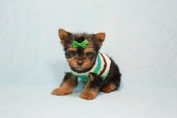 Max - Yorkie puppy Has Found A Loving Home With Antonia In Las Vegas, NV!-11367