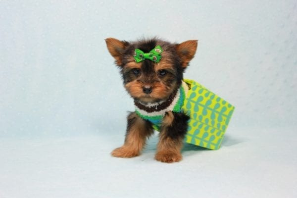 Max - Yorkie puppy Has Found A Loving Home With Antonia In Las Vegas, NV!-11365