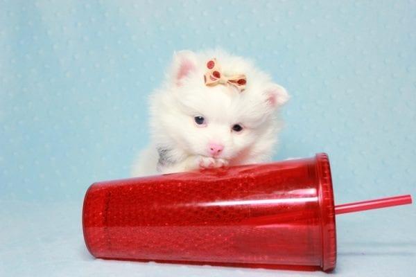 Max - Small Pomeranian Puppy Found His Loving Home with Monique from Granada Hills CA 91344-11866