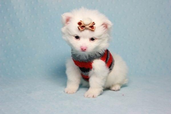Max - Small Pomeranian Puppy Found His Loving Home with Monique from Granada Hills CA 91344-11864