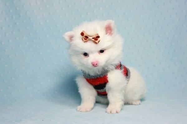 Max - Small Pomeranian Puppy Found His Loving Home with Monique from Granada Hills CA 91344-11869