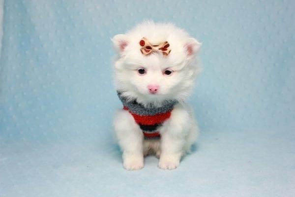 Max - Small Pomeranian Puppy Found His Loving Home with Monique from Granada Hills CA 91344-11870