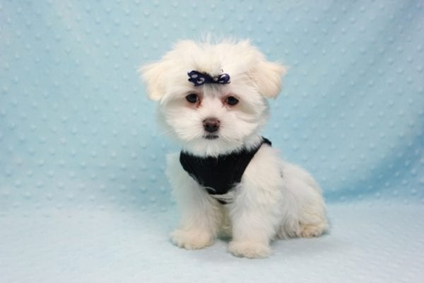 Michael Kors - Teacup Maltese Puppy In L.A Found a new loving Home with Elam From Pomona CA 91768 -0