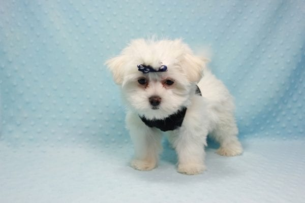 Michael Kors - Teacup Maltese Puppy In L.A Found a new loving Home with Elam From Pomona CA 91768 -11824