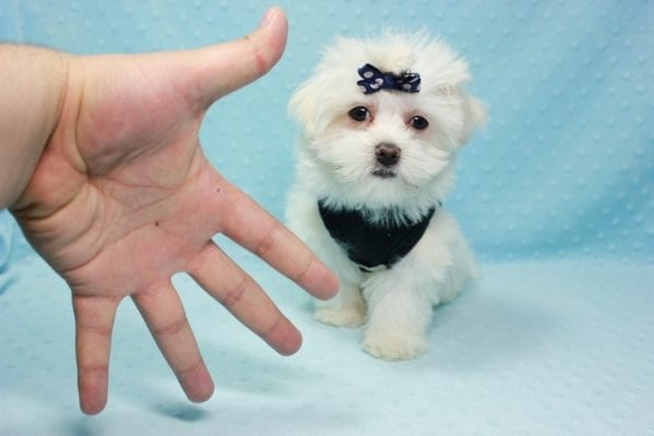 Michael Kors - Teacup Maltese Puppy In L.A Found a new loving Home with Elam From Pomona CA 91768 -11822