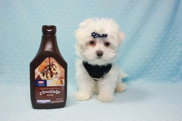 Michael Kors - Teacup Maltese Puppy In L.A Found a new loving Home with Elam From Pomona CA 91768 -11825