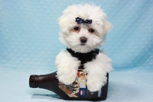 Michael Kors - Teacup Maltese Puppy In L.A Found a new loving Home with Elam From Pomona CA 91768 -11820