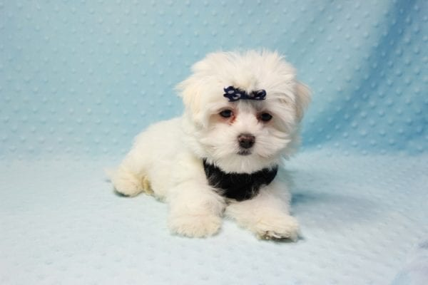 Michael Kors - Teacup Maltese Puppy In L.A Found a new loving Home with Elam From Pomona CA 91768 -11823